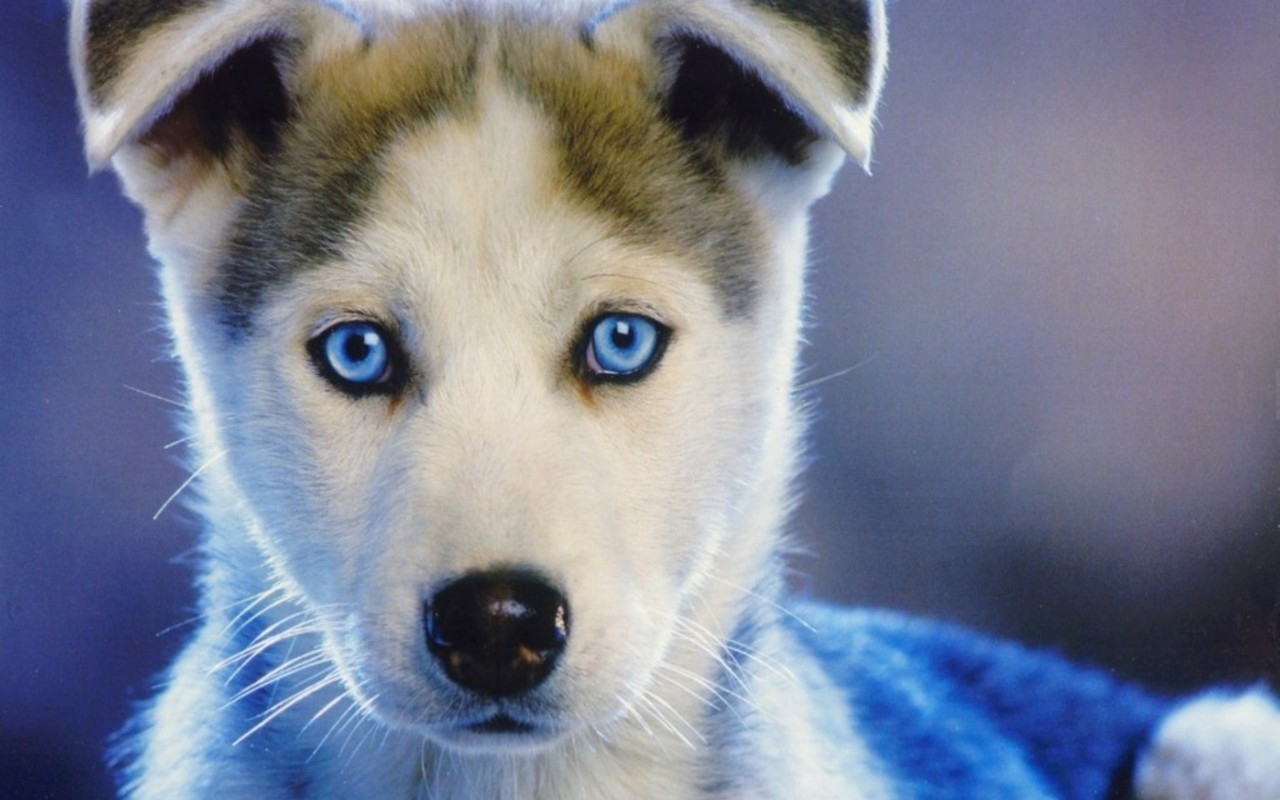 Fullsize Of Dogs With Blue Eyes