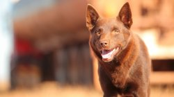 Precious Red Dog Hd Wallpapers Background Images Wallpaper Abyss Red Nose Dog Breeds Red Dog Breed Images
