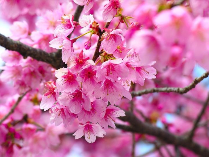 Pink Cherry Blossom Tree.8 Oque Significa Happy Diwali 2014