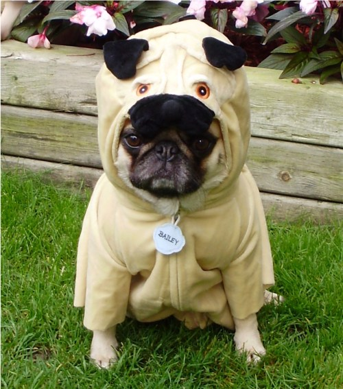 Medium Of Pug In Costume