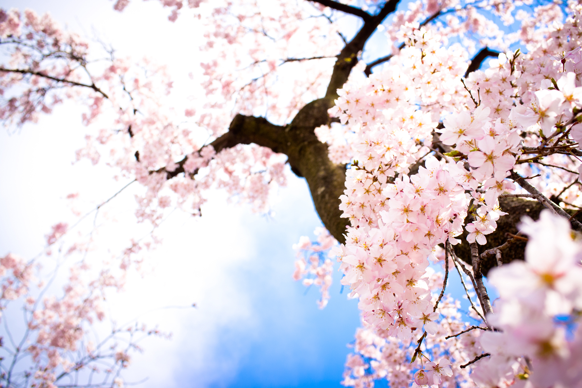 Perfect Cherry Blossom Images Cherry Blossom Hd Wallpaper Andbackground Photos Cherry Blossom Images Cherry Blossom Hd Wallpaper Cherry Blossom Wallpaper Hd Cherry Blossom Wallpaper Iphone X houzz-03 Cherry Blossom Wallpaper