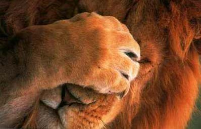 Lion Covering His Face