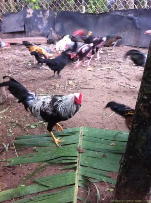 Bình Dương cung cấp gà tre đá tiền - 32