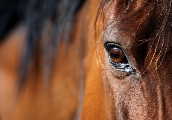arabian-horse-120223