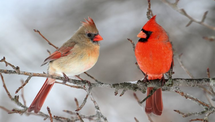 How to Attract Cardinals to a Bird Feeder   Animals   mom me SteveByland iStock Getty Images