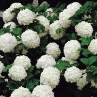 Калина бульденеж - выращивание и уход