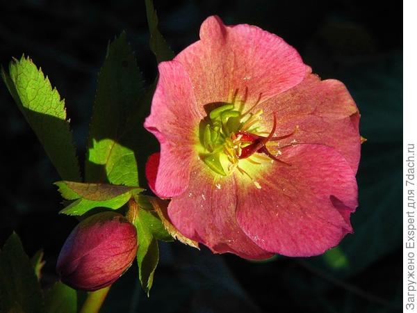 Рождественская роза