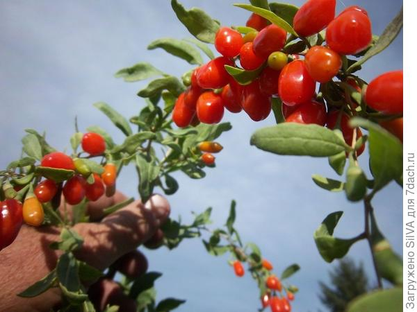 ягоды годжи на ветке