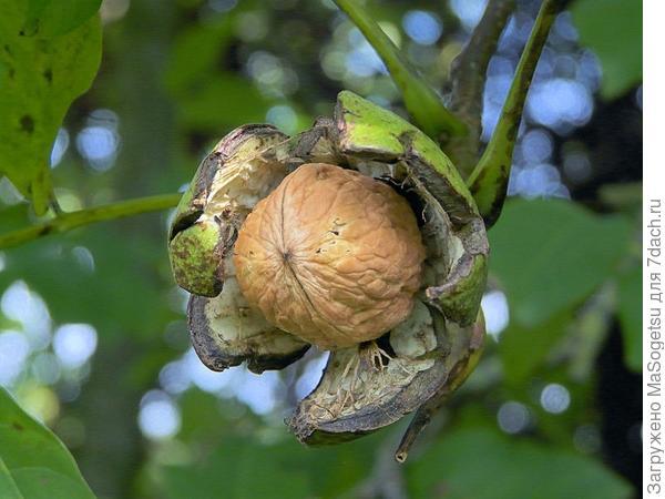 Сорт Juglandeae angulosa - Яглыджевюс