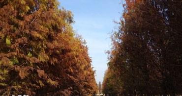 【彰化大村隱藏景點】獨佔一大片美麗寧靜落羽松林,隱身田野間的整片落羽松,外拍打卡都好漂亮!【大村落羽松】