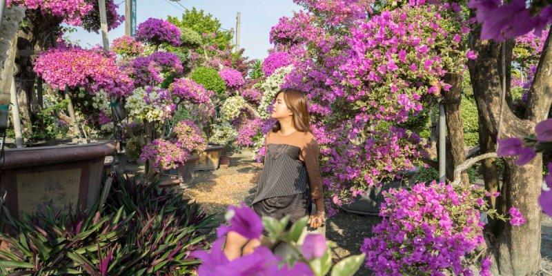 田尾九重葛之家(輝豐園藝) 彰化IG超夯打卡,如夢境般比人高的九重葛花海,圍繞在萬紫千紅花園。