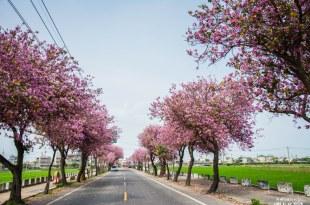 |雲林‧土庫|粉紅色的浪漫,慢步在羊蹄甲大道