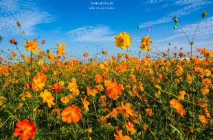 Taichung|台中‧新社|2015新社花海*藍天下的花毯,繽紛十年花漾台中,台中國際花毯節