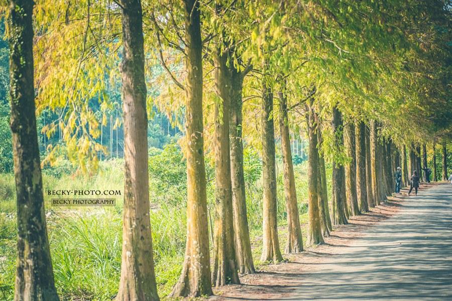【雲林】。雲林古坑落羽松正美麗!桂林村落羽松祕境遊客少