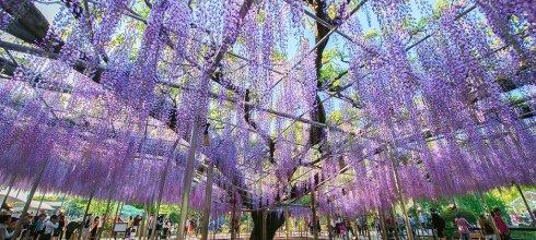 紫藤花寫真攝影