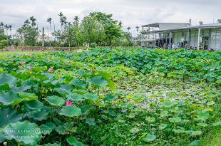 【台中】。潭子拍攝荷花~親子草坪奔跑、餵魚、盪鞦韆@心田花園