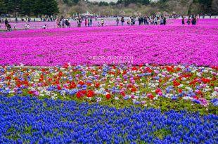 【日本】。東京新宿到河口湖富士山芝櫻季、網路訂新宿巴士票《富士急行交通》