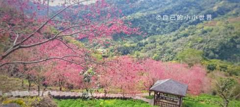 【台中】。沐心泉農場台中櫻花景點!新社櫻花開