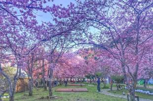 【桃園】。拉拉山恩愛農場粉色櫻花季!塞車很嚇人~富士櫻千島櫻