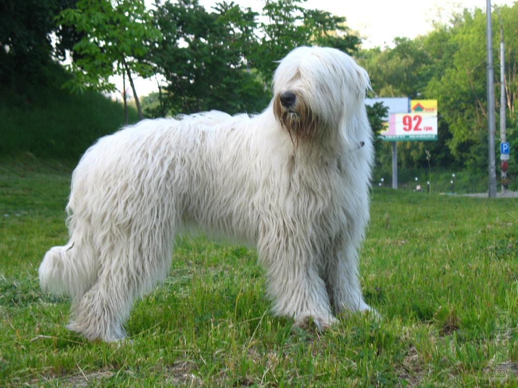 Fullsize Of Russian Guard Dog