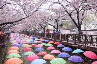 [韓國] 鎮海,余佐川賞櫻,漫步粉紅花瓣下