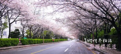 [韓國] 釜山,在冬柏站遇見超美櫻花道