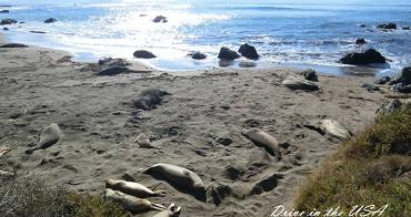 ▌影音 ▌加州一號公路觀賞海象做日光浴。原來海象移動速度這麼快