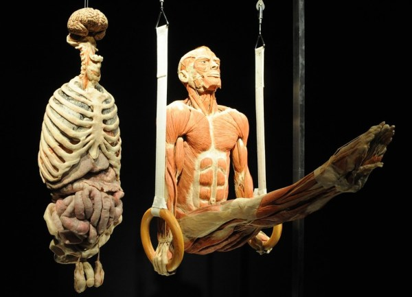 "The plastinate ""the Ring Gymnast"" hangs next to its organ (L) displayed at the exhibition Body Worlds and ""the Cycle of Life"" in Singapore Science centre on October 22, 2009. ROSLAN RAHMAN/AFP/Getty Images"