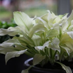 Small Crop Of White Feather Hosta