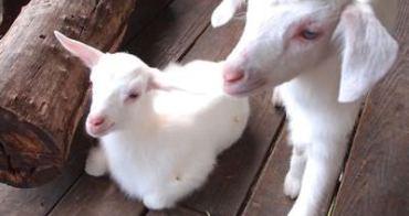 宜蘭 宜農牧場 餵小羊、小豬喝奶