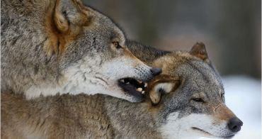 你給員工吃肉,你將迎來一群狼!