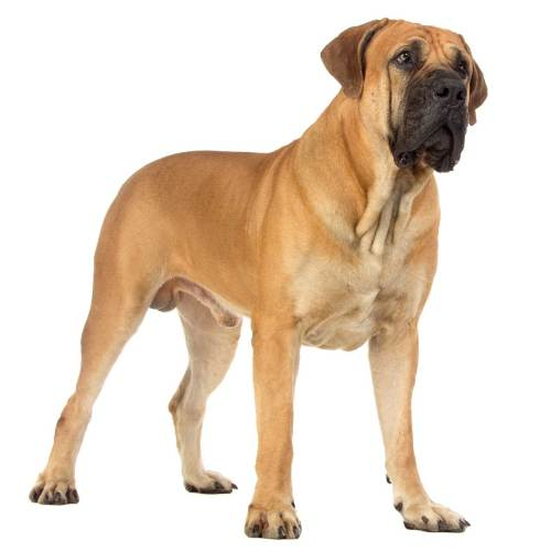 Fashionable Red Boerboel Boerboel Dog Breed Everything About Boerboels Red Zone Dog Breeds Red D Dog Breeds