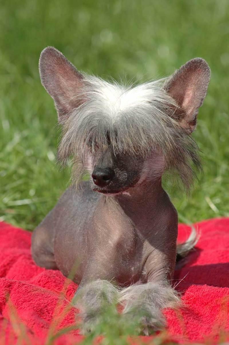 Large Of Hairless Dog Breeds