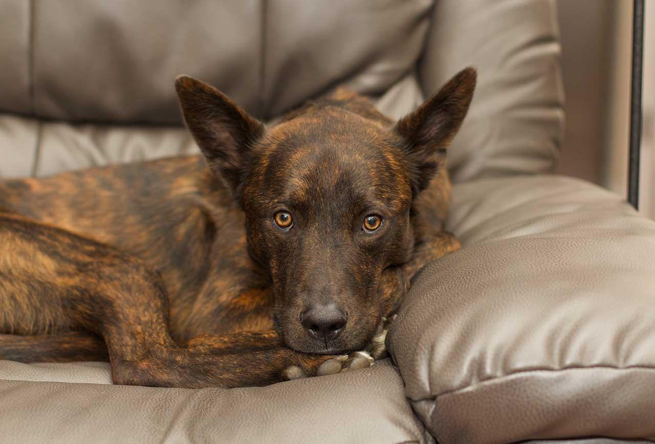 Fullsize Of Extinct Dog Breeds
