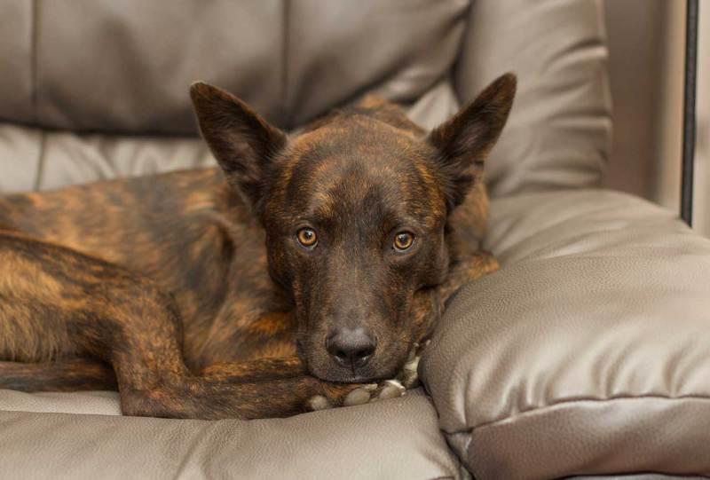 Large Of Extinct Dog Breeds