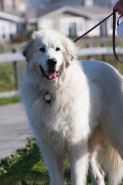 Genial Pyrenees Pyrenees Dog Breed More Large Black Dog Breeds Giant Dog Breeds