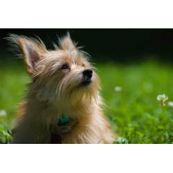 Supreme Cream Yorkie Pom Yorkie Pom Dog Breed Everything About Yorkie Pomeranian Mixes Are Yorkies Really Hypoallergenic Are Teacup Yorkies Hypoallergenic