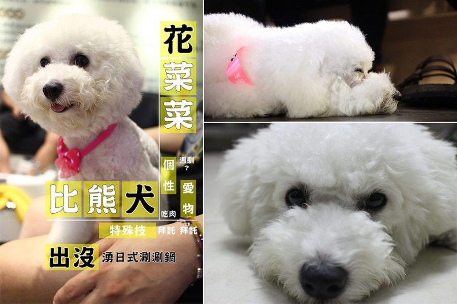 寵物毛小孩 火鍋店的毛茸茸比熊店狗 台南市北區|比熊犬-花椰菜-湧日式涮涮鍋