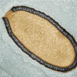 pithovirus