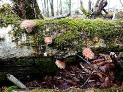 Os cogumelos Shiitake a crescerem numa árvore
