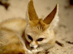 São bem visíveis as grandes orelhas que possuem.