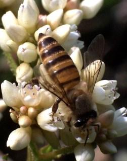 Um exemplar de uma abelha-do-mel-asiática.