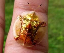 Besouro-de-ouro 1