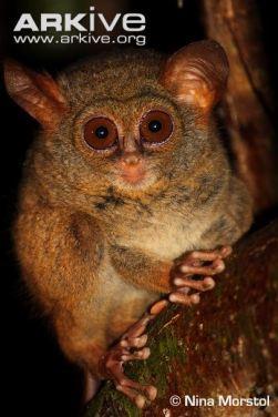 Indivíduo da espécie Tarsius tarsier.