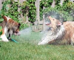 【おもしろ:犬】スプリンクラーとガチで戦う犬たちwww【画像24枚】