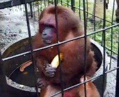 【おもしろ】志村けんと同等・・・いやそれ以上だ!物凄い勢いでバナナを貪る猿・・・