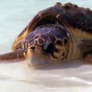 【衝撃映像:亀】ウミガメVSサメ・・・カメって意外と速いw