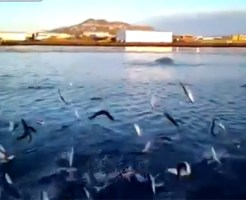 【衝撃映像:魚】無数の魚が跳ねまくるスーパーナブラ!!こんな凄いの初めて見たw