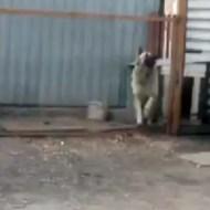 【萌え動画:犬】完璧なリズムで踊る犬が可愛すぎる(*゚ー゚)