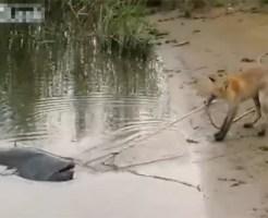 【萌え動画:動物】巨大なまずVS狐 食べたくて仕方ない狐に萌えるw